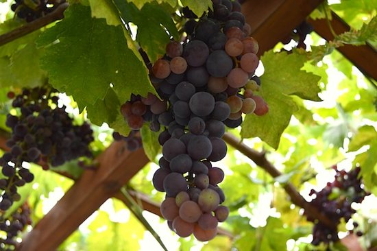 Red-Grape-Cluster.6